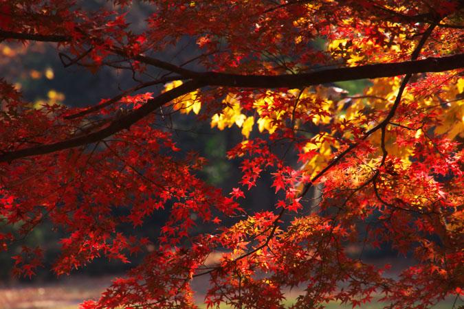 新宿御苑の紅葉の盛り1_a0263109_12112119.jpg