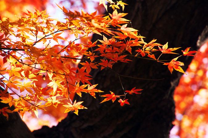 新宿御苑の紅葉の盛り1_a0263109_1211334.jpg