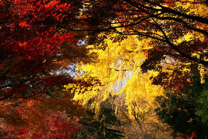 新宿御苑の紅葉の盛り1_a0263109_12114538.jpg