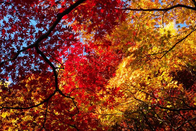 新宿御苑の紅葉の盛り1_a0263109_12115753.jpg