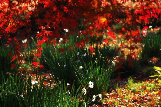新宿御苑の紅葉の盛り1_a0263109_12121516.jpg