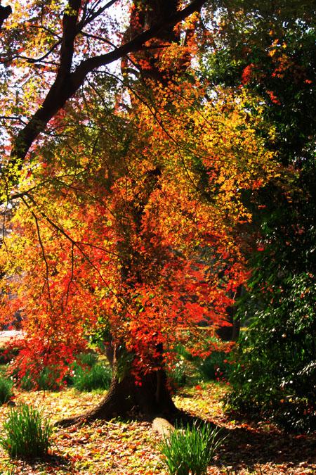 新宿御苑の紅葉の盛り1_a0263109_12122452.jpg