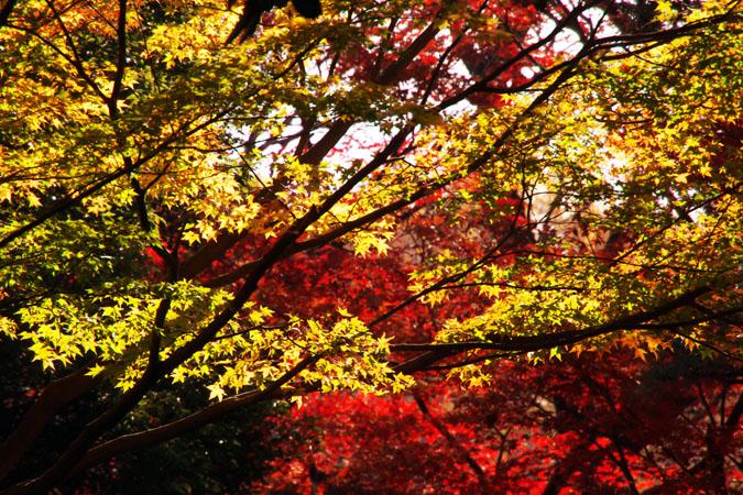 新宿御苑の紅葉の盛り1_a0263109_1212658.jpg