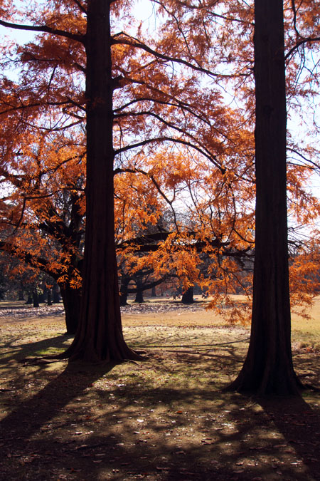 新宿御苑の紅葉の盛り1_a0263109_12132576.jpg
