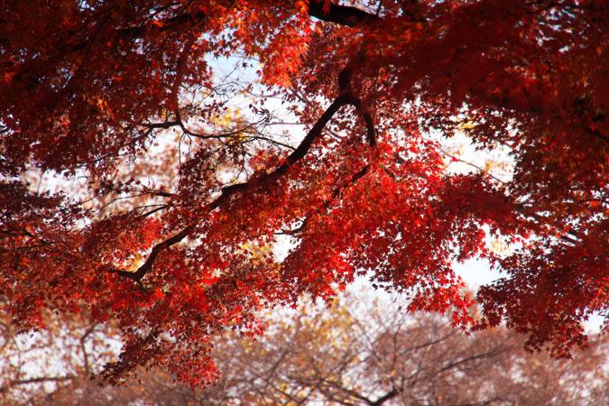 新宿御苑の紅葉の盛り1_a0263109_12141389.jpg