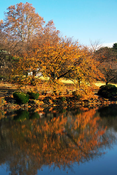 新宿御苑の紅葉の盛り1_a0263109_12142370.jpg