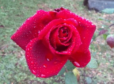 冬の薔薇・2_a0094959_16354712.jpg