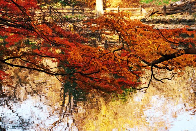 新宿御苑の紅葉の盛り2_a0263109_13371053.jpg