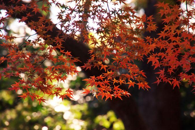 新宿御苑の紅葉の盛り2_a0263109_13373980.jpg