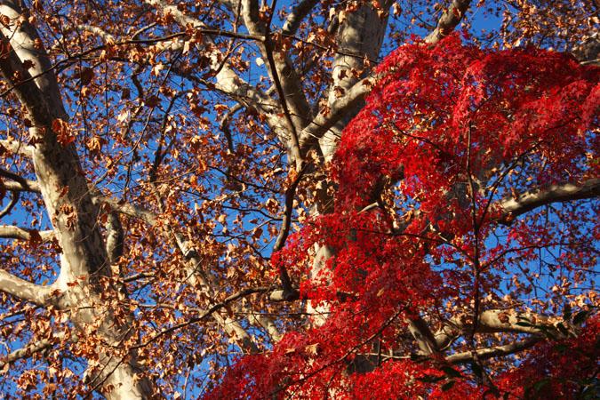 新宿御苑の紅葉の盛り2_a0263109_13375151.jpg