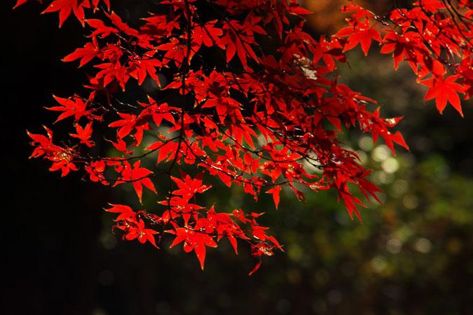 新宿御苑の紅葉の盛り2_a0263109_1338170.jpg