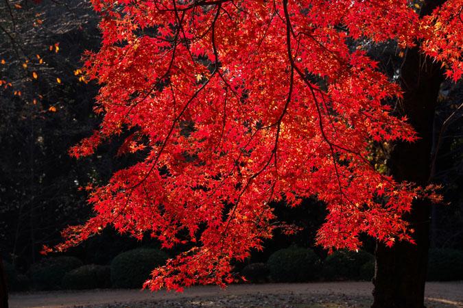 新宿御苑の紅葉の盛り2_a0263109_13393278.jpg