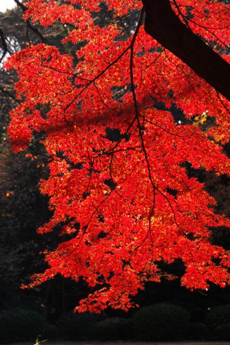 新宿御苑の紅葉の盛り2_a0263109_13394264.jpg