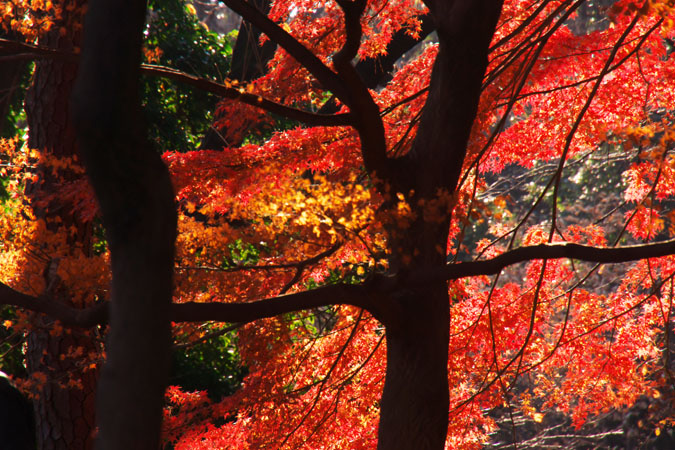 新宿御苑の紅葉の盛り2_a0263109_1339518.jpg