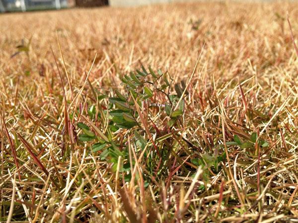朝から冬枯れの芝生を整備_a0000006_23411576.jpg