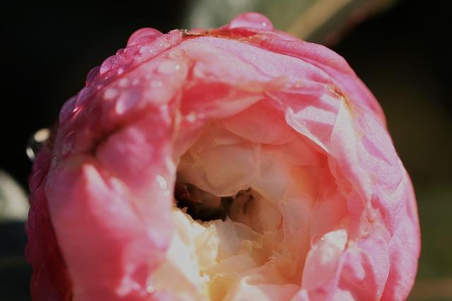 ツバキの花に出会う。_e0321325_10402468.jpg