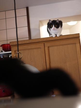 空飛ぶももんが猫 てぃぁらみるきぃ編。_a0143140_2375650.jpg
