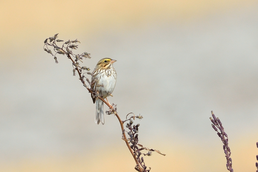 サバンナシトド(Savannah Sparrow)~2014.01_b0148352_1343627.jpg
