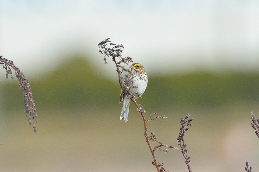 サバンナシトド(Savannah Sparrow)~2014.01_b0148352_1344599.jpg
