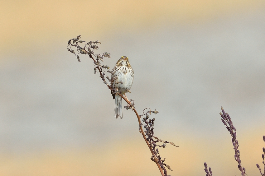 サバンナシトド(Savannah Sparrow)~2014.01_b0148352_1345462.jpg