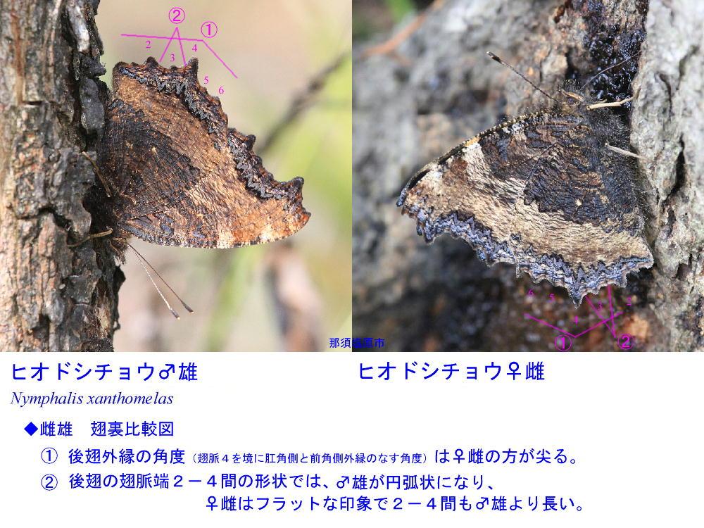 ヒオドシチョウ  雌雄差は確かに難解  2013那須塩原市その1_a0146869_5153346.jpg