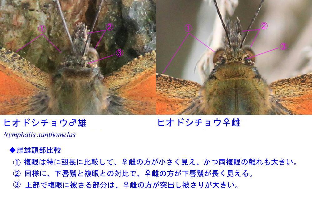 ヒオドシチョウ  雌雄差は確かに難解  2013那須塩原市その1_a0146869_5205842.jpg