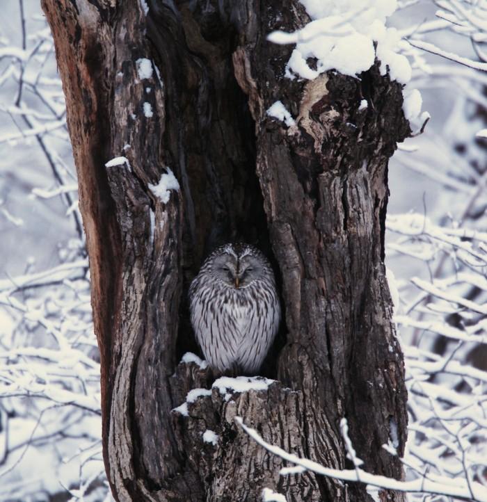 2014年1月雪と鳥シリーズその1: 雪のエゾフクロウに逢えました_f0105570_2141717.jpg