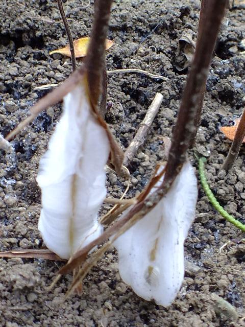 1月11日我が家の庭はシモバシラ。_e0145782_17155219.jpg