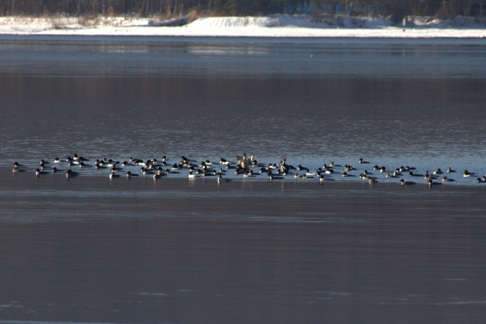 2014.1.12 今週末の鳥見は全滅・丹沢湖、山中湖・カワアイサ_c0269342_17531187.jpg