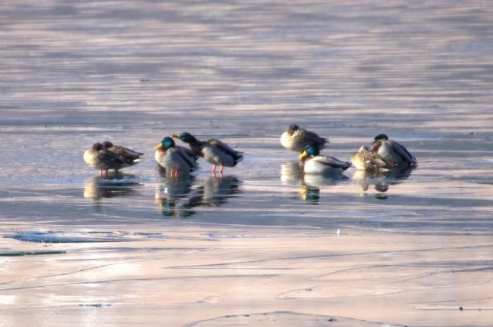 2014.1.12 今週末の鳥見は全滅・丹沢湖、山中湖・カワアイサ_c0269342_17533449.jpg