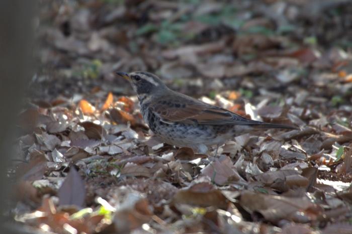 2014.1.12 今週末の鳥見は全滅・丹沢湖、山中湖・カワアイサ_c0269342_18172567.jpg