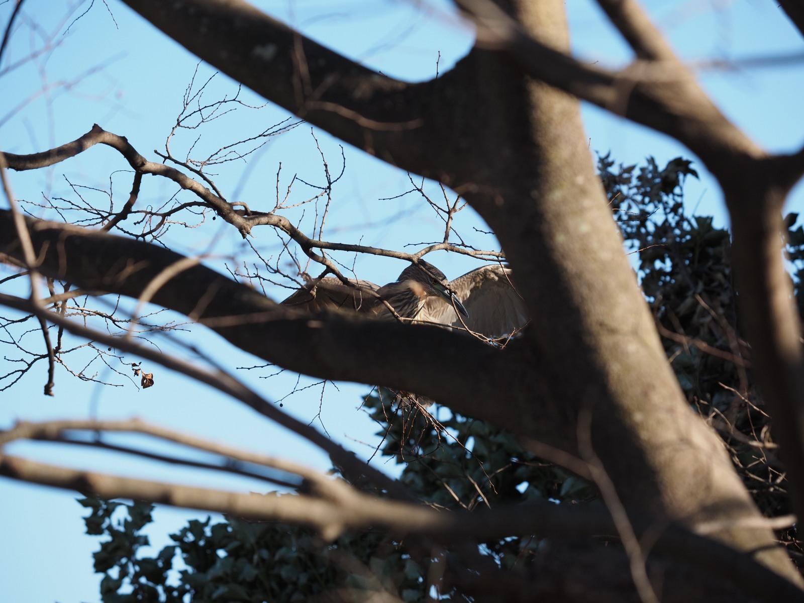 2014年1月14日  あとひと月&ゴイサギ/五位鷺/(Black-crowned)Night Heron_f0108797_16460582.jpg