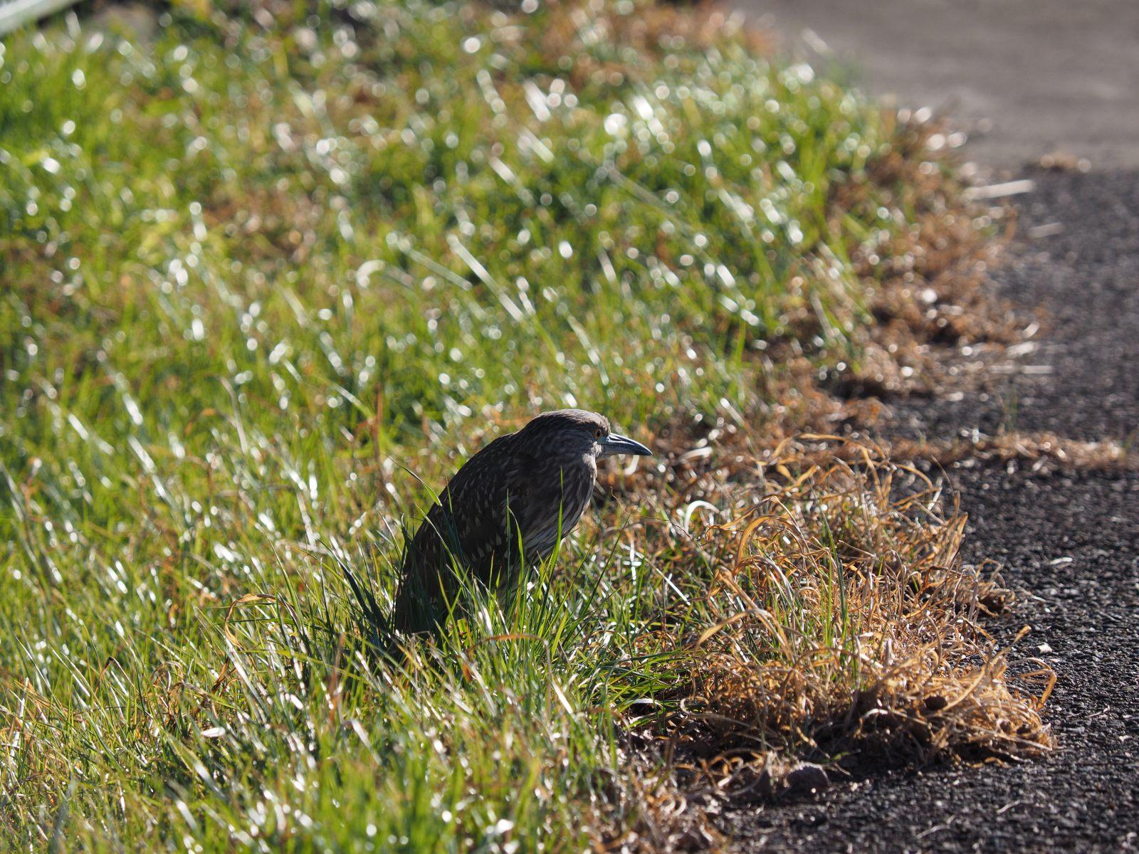 2014年1月14日  あとひと月&ゴイサギ/五位鷺/(Black-crowned)Night Heron_f0108797_16560684.jpg