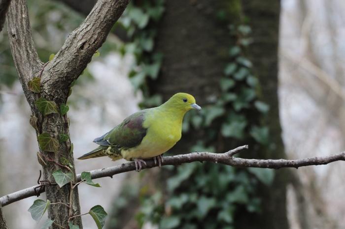 2014.1.15 今日の鳥見は目標達成+α・権現山・アオバト、ミヤマホオジロ、シメ、ルリビタキ、ジョウビタキ、シロハラ_c0269342_19492047.jpg