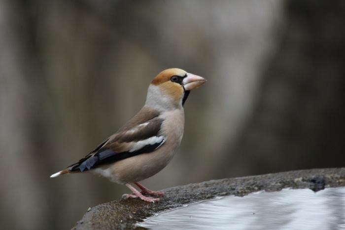 2014.1.15 今日の鳥見は目標達成+α・権現山・アオバト、ミヤマホオジロ、シメ、ルリビタキ、ジョウビタキ、シロハラ_c0269342_19563538.jpg