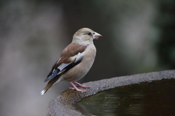 2014.1.15 今日の鳥見は目標達成+α・権現山・アオバト、ミヤマホオジロ、シメ、ルリビタキ、ジョウビタキ、シロハラ_c0269342_19574833.jpg