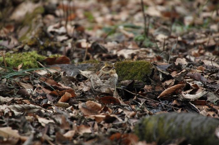 2014.1.15 今日の鳥見は目標達成+α・権現山・アオバト、ミヤマホオジロ、シメ、ルリビタキ、ジョウビタキ、シロハラ_c0269342_20080377.jpg