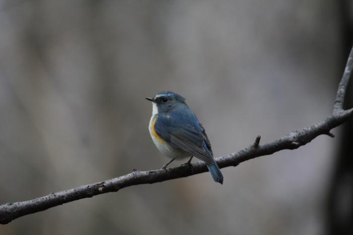 2014.1.15 今日の鳥見は目標達成+α・権現山・アオバト、ミヤマホオジロ、シメ、ルリビタキ、ジョウビタキ、シロハラ_c0269342_20092083.jpg