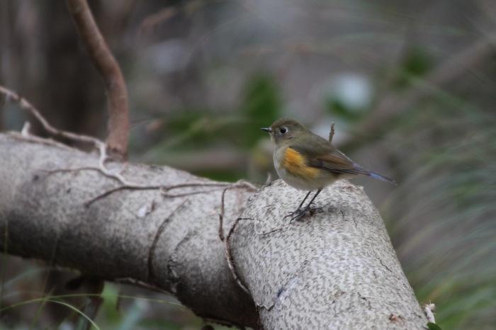 2014.1.15 今日の鳥見は目標達成+α・権現山・アオバト、ミヤマホオジロ、シメ、ルリビタキ、ジョウビタキ、シロハラ_c0269342_20122475.jpg