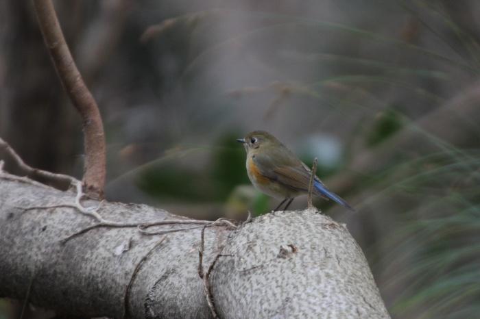 2014.1.15 今日の鳥見は目標達成+α・権現山・アオバト、ミヤマホオジロ、シメ、ルリビタキ、ジョウビタキ、シロハラ_c0269342_20134676.jpg