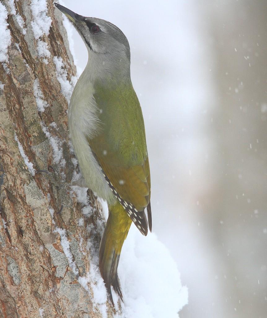 2014年1月雪と鳥シリーズその4: 雪の中のヤマゲラ雌_f0105570_22342559.jpg