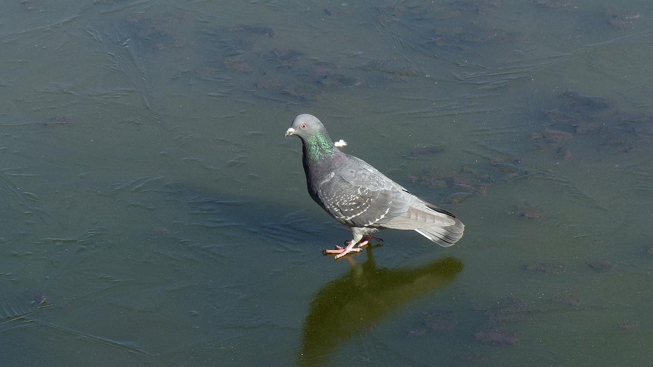 【 日記 2014 1/16 (木) 】 鳩も凍りつきました!_a0185081_14562798.jpg
