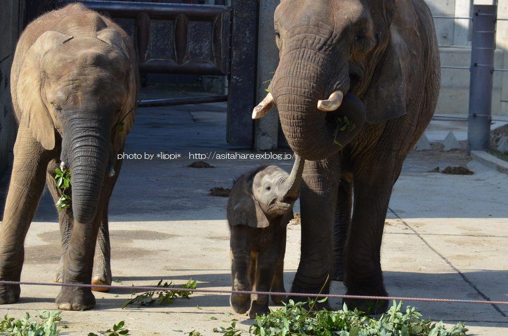 アフリカゾウ誕生  家族になる日を夢見て_b0024758_0343092.jpg