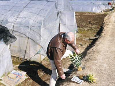 熊本産パイナップル!その2「パイナップルの花と収穫のお話」_a0254656_16394433.jpg
