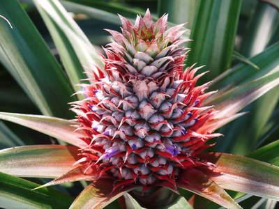 熊本産パイナップル!その2「パイナップルの花と収穫のお話」_a0254656_16563436.jpg