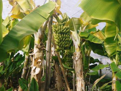 熊本産パイナップル!その2「パイナップルの花と収穫のお話」_a0254656_17421157.jpg