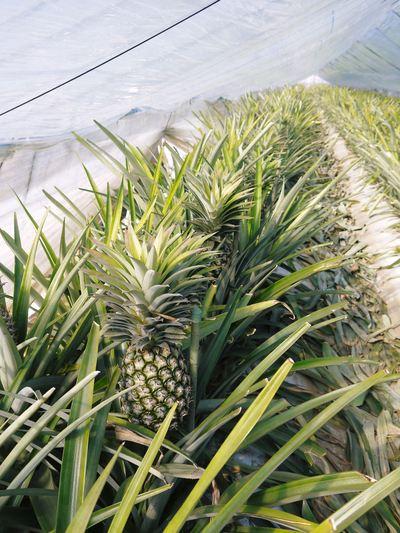 熊本産パイナップル!その2「パイナップルの花と収穫のお話」_a0254656_17462274.jpg