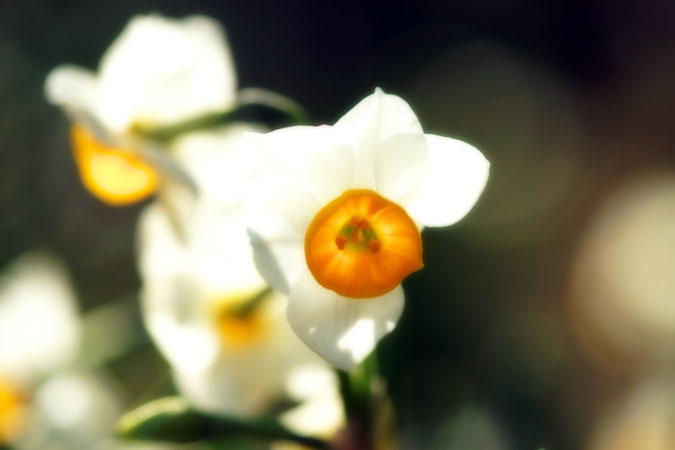 新宿御苑の水仙1_a0263109_19573189.jpg