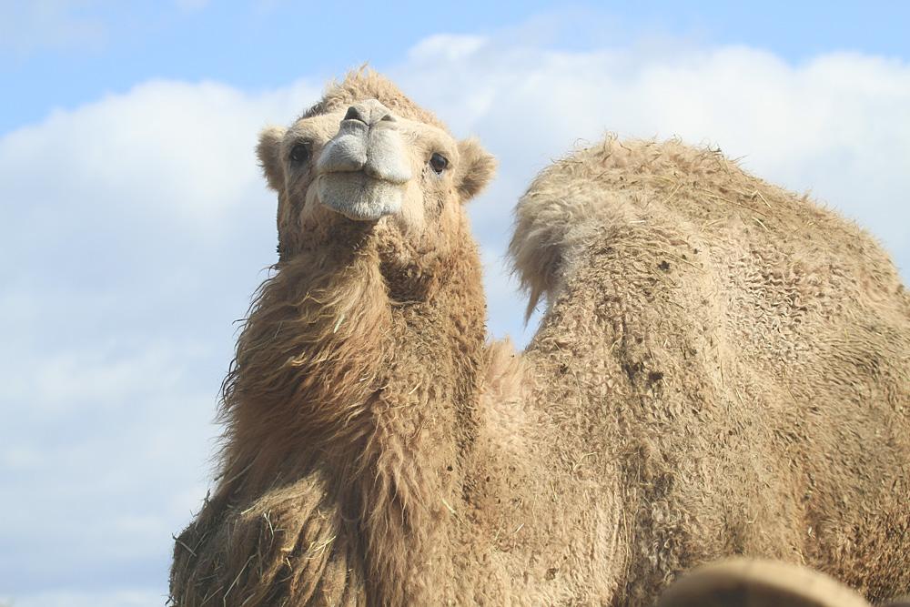2013.10.27 東北サファリパーク☆のラクダ【Camel】_f0250322_20124148.jpg