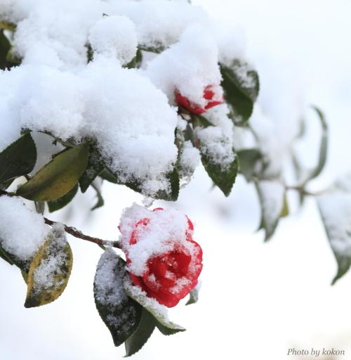 camellia._c0200027_21543648.jpg